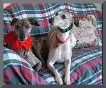 The cutest whippets on earth